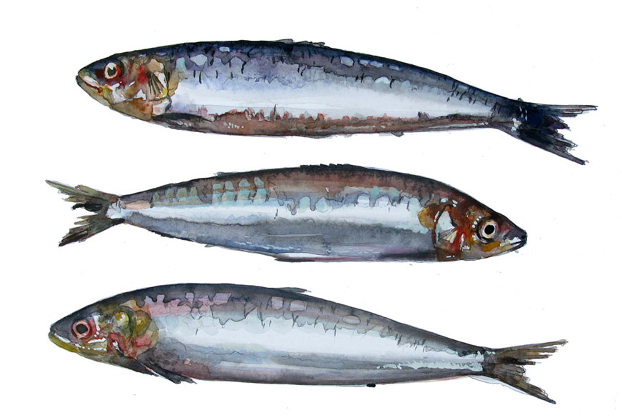 watercolour of sardines