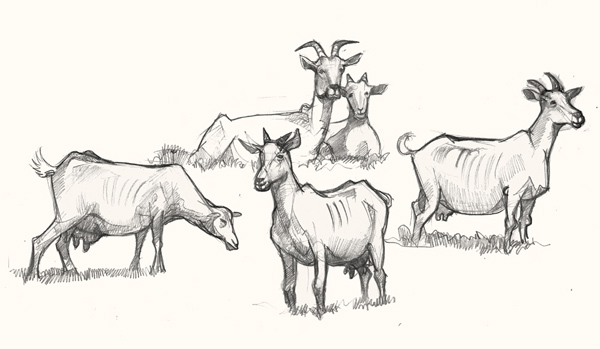 A drawing of Goats
