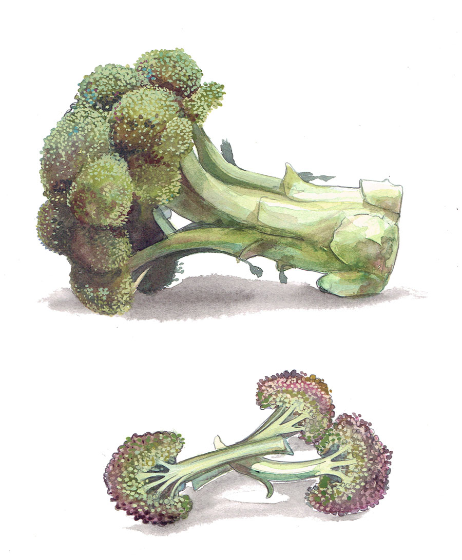 A watercolour of Broccali