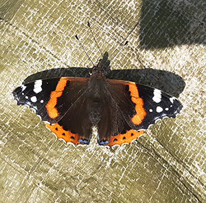 A butterfly in an allotment